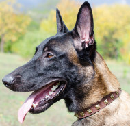 Malinois Halsband van leer met Decoraties
